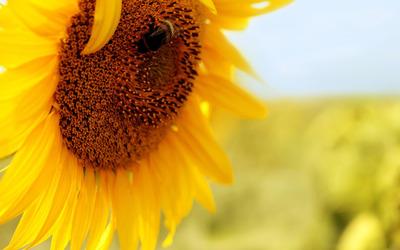 Sunflower [12] wallpaper