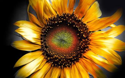 Sunflower [9] wallpaper