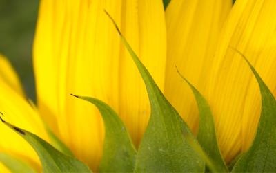 Sunflower [17] wallpaper