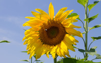 Sunflower [15] wallpaper 2880x1800 jpg