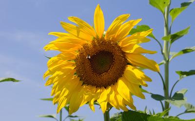 Sunflower [15] wallpaper