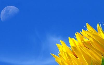Sunflower [3] wallpaper