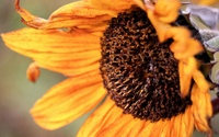 Sunflower [23] wallpaper 2560x1600 jpg