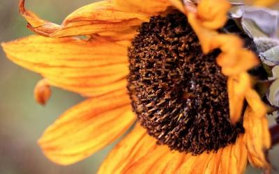 Sunflower [23] wallpaper