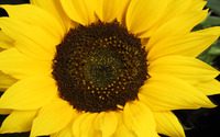 Sunflower [11] wallpaper 1920x1200 jpg