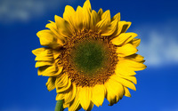 Sunflower [19] wallpaper 1920x1080 jpg