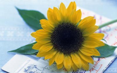 Sunflower [25] Wallpaper