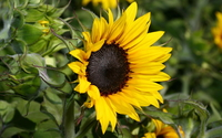 Sunflower [24] wallpaper 1920x1080 jpg