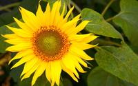 Sunflower [22] wallpaper 1920x1080 jpg