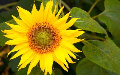 Sunflower [22] Wallpaper