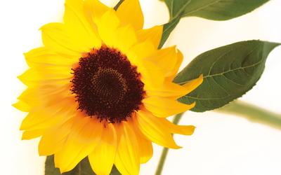 Sunflower [26] wallpaper