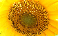 Sunflower [10] wallpaper 1920x1200 jpg