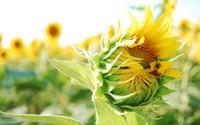 Sunflower [7] wallpaper 1920x1200 jpg