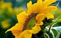 Sunflower [6] wallpaper 1920x1200 jpg