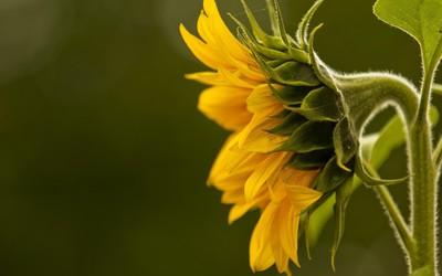 Sunflower [4] wallpaper