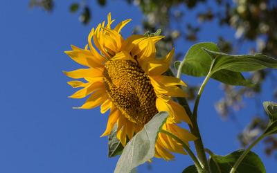 Sunflower against the sky wallpaper