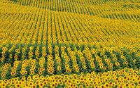 Sunflower field [2] wallpaper 1920x1200 jpg
