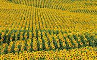 Sunflower field [2] wallpaper 1920x1200 jpg