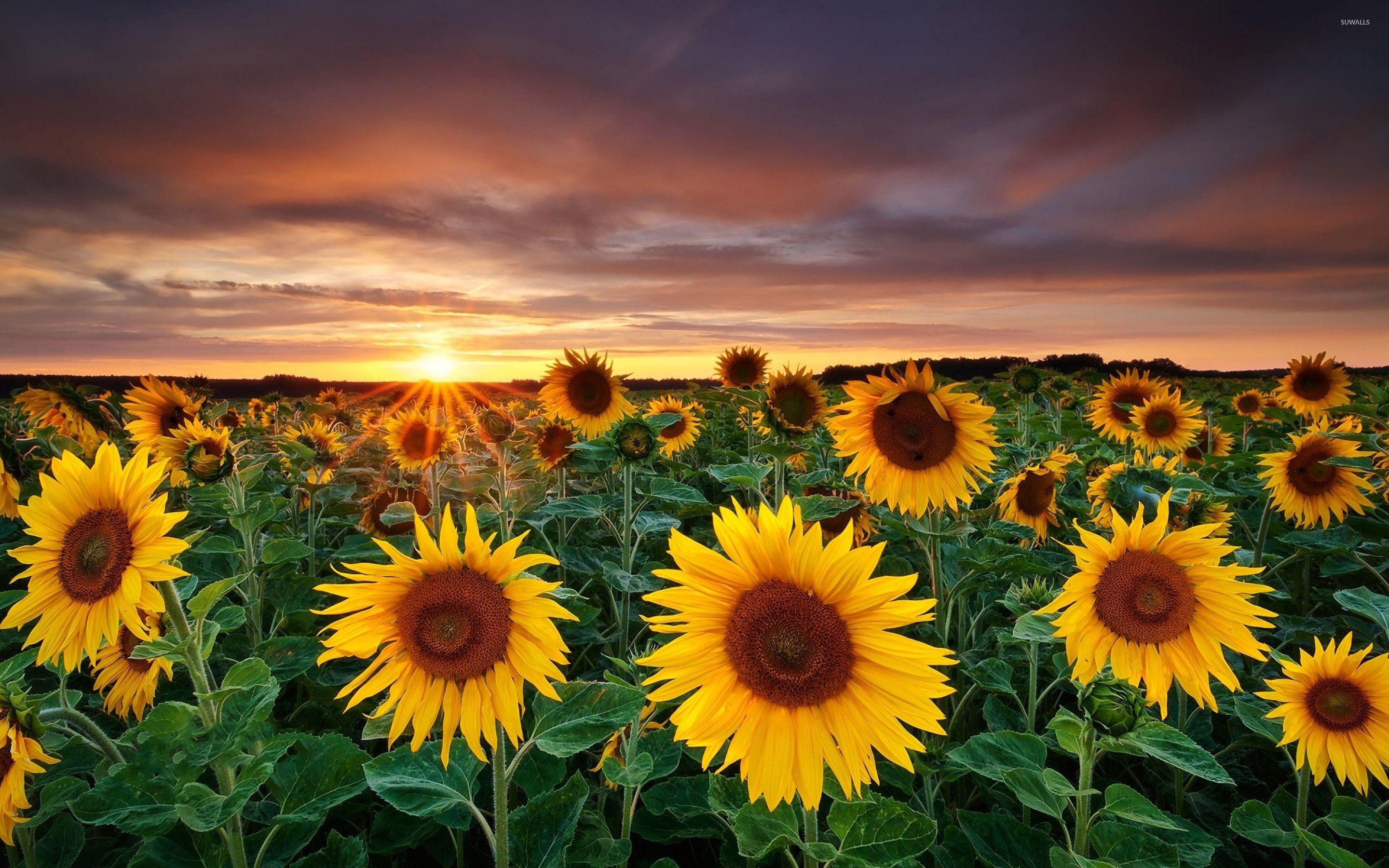 Sunflower Field Wallpapers 48 Wallpapers Wallpapers 4k