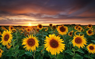 Sunflower fields with a beautiful sun setting in the horizon wallpaper