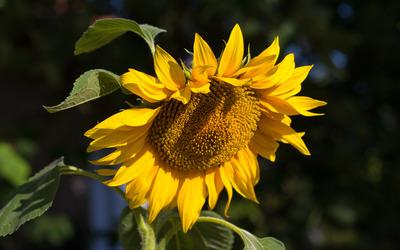Sunflower in the sunshine wallpaper