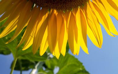Sunflower petals wallpaper