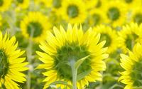 Sunflowers [10] wallpaper 1920x1080 jpg