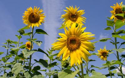 Sunflowers [17] wallpaper