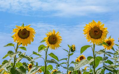 Sunflowers [13] wallpaper