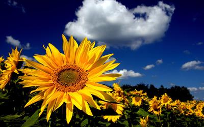 Sunflowers [12] Wallpaper
