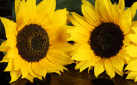 Sunflowers [7] wallpaper 1920x1200 jpg