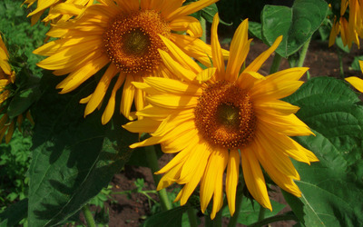 Sunflowers [27] wallpaper