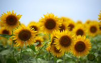 Sunflowers [15] wallpaper 1920x1200 jpg