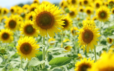 Sunflowers [19] wallpaper
