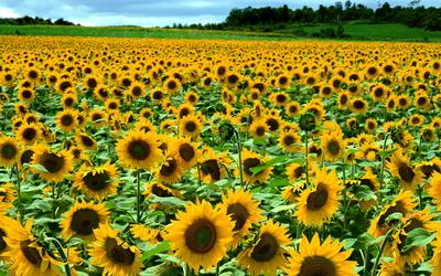 Sunflowers [22] wallpaper