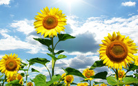Sunflowers wallpaper 1920x1200 jpg