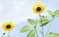 Sunflowers [25] wallpaper 1920x1080 jpg