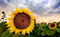 Sunflowers [24] wallpaper 1920x1080 jpg