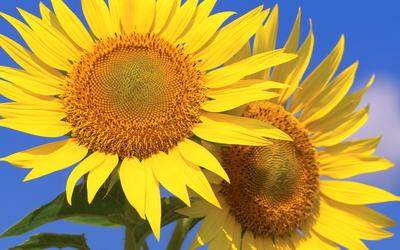 Sunflowers [23] wallpaper