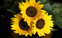 Sunflowers [4] wallpaper 1920x1200 jpg