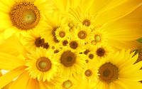 Sunflowers [2] wallpaper 1920x1200 jpg