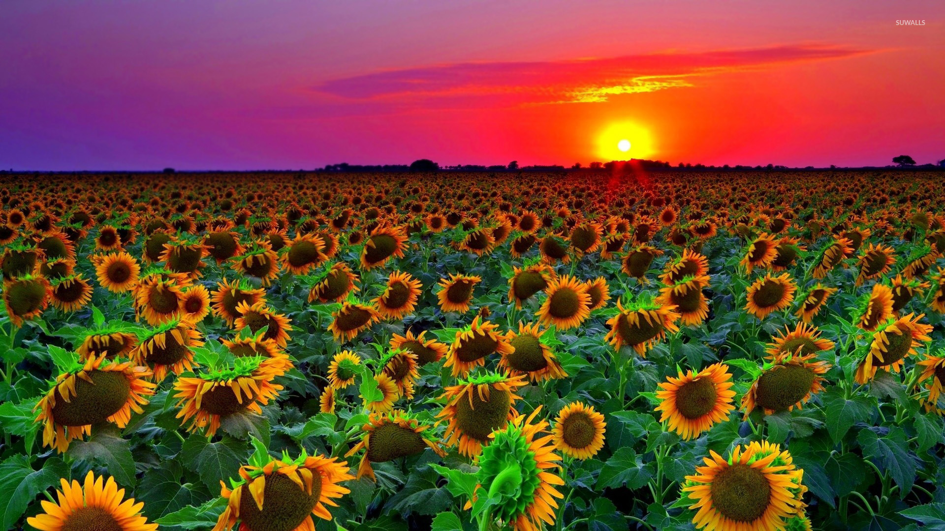 Sunflowers at sunset wallpaper