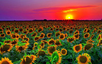 Sunflowers at sunset wallpaper 1920x1080 jpg