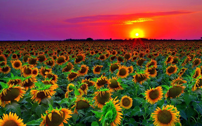 Sunflowers at sunset wallpaper