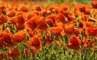 Sunlight over the poppies wallpaper 1920x1200 jpg