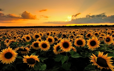 Sunset on the sunflower field wallpaper