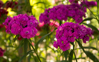 Sweet William [3] wallpaper 2560x1600 jpg