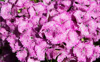 Sweet William [5] wallpaper 2880x1800 jpg