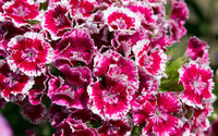 Sweet William [2] wallpaper 2880x1800 jpg