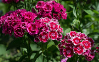 Sweet William wallpaper 2880x1800 jpg